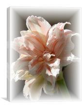 Amaryllis in soft frame, Canvas Print