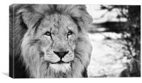 Lion face, Canvas Print