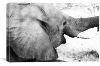 Elephant Smile, Canvas Print