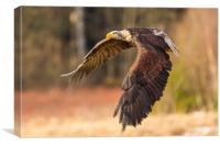 Bald Eagle in Flight, Canvas Print