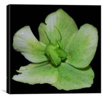 Christmas Rose, Canvas Print