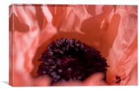 Pink Poppy, Canvas Print