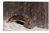 Female Mallard, Canvas Print