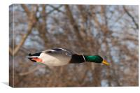 Male Mallard, Canvas Print