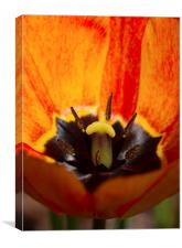 Orange Tulip, Canvas Print