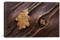 English Oak (Quercus Robur), Norfolk, UK in Winter