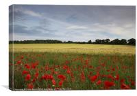 Field of barley and poppies at sunset. Norfolk