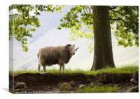 Herdwick Sheep, Lake District, Cumbria, UK in Summ
