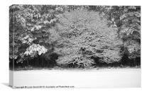 Snow covered Oak tree. Thetford Forest, Norfolk, U, Canvas Print