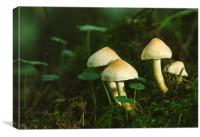 Fungus Sulphur Tuft (Hypholoma fasciculare).