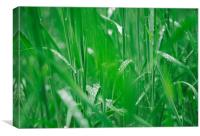 Fresh wild grass covered in dew water droplets., Canvas Print