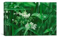 Wild Ground-elder flowers among dew covered grass., Canvas Print