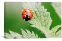 Ladybird on a nettle leaf. Norfolk, UK.