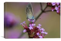 Feeding butterfly, Canvas Print