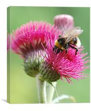 Red thistle with bee