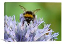 Bee on a Echinops