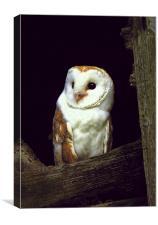 BARN OWL IN BARN, Canvas Print
