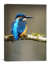 KINGFISHER #7, Canvas Print