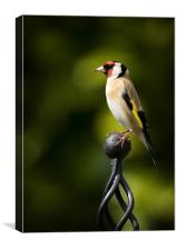 GOLDFINCH #2, Canvas Print
