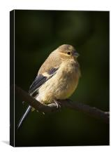YOUNG BULLFINCH, Canvas Print