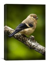 YOUNG BULLFINCH #1, Canvas Print