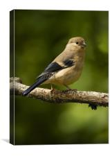 YOUNG BULLFINCH #2, Canvas Print