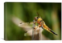 FOUR - SPOTTED CHASER, Canvas Print
