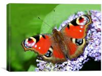 The Peacock Butterfly 1, Canvas Print