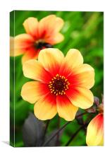 The Yellow and Red Dahlia, Canvas Print