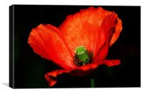 The Poppy, Canvas Print