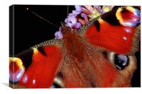 The Peacock Butterfly, Canvas Print