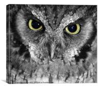 Screech owl, Canvas Print