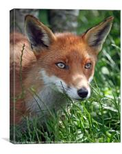 Red fox stare, Canvas Print