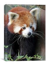 Red panda, Canvas Print