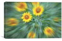 Sunflower Burst, Canvas Print