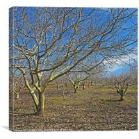 Nut trees, Canvas Print