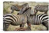 Zebras, Canvas Print