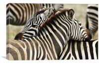 Zebras 2, Canvas Print