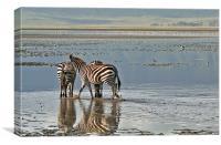 Paddling zebras, Canvas Print