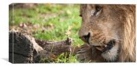 Lion Feeding Time, Canvas Print