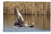 Skimming - Goose, Canvas Print