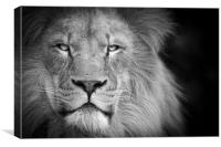 A lion staring, Canvas Print