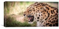 Snarling Amur leopard, Canvas Print