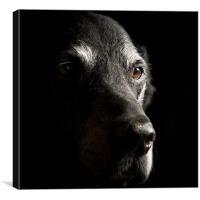 Old Black Labrador, Canvas Print