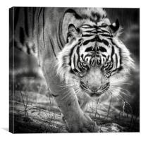 Tiger on the prowl, Canvas Print