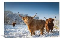 Highland cattle in the snow, Canvas Print