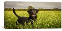 Labrador in the Spring Barley, Canvas Print