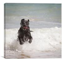 Black Labrador in the sea, Canvas Print