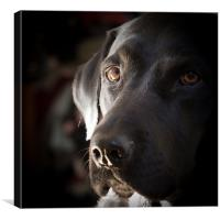 Black Labrador, Canvas Print