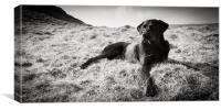 Black Labrador, Canvas Print